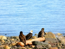 Eagles in front of the Heron's Landing Hotel
